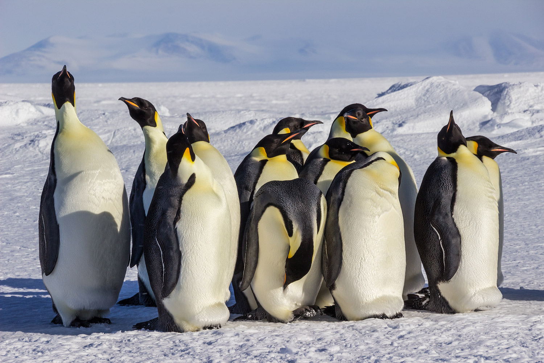 01. Emperor Penguins