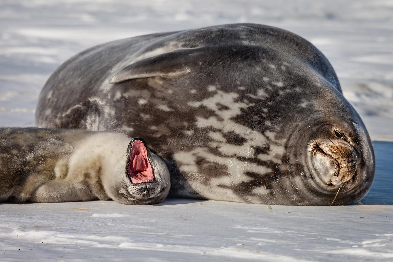 20. Weddell Seals