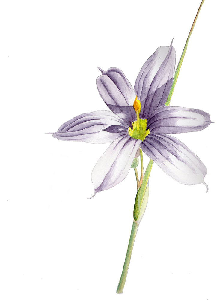 06. Blue-eyed Grass