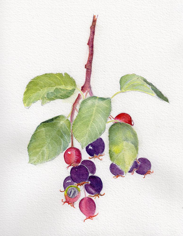 16. Saskatoon Berries