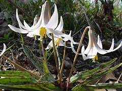 Trout lily.