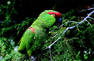 Thhick-billed parrot.