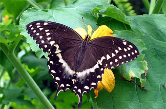 Palamedes swallowtail butterfly.