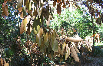 Redbay leaves afflicted with laurel wilt.
