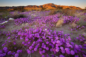 Wildflowers at Joshua Tree National Park.