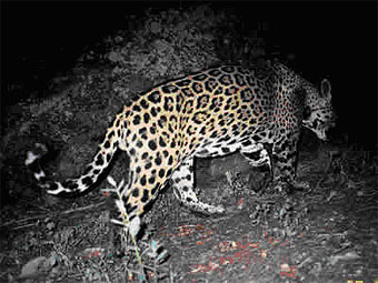 Jaguar photo taken from a camera trap in southern Arizona.