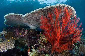 Coral reef with red sea fan.