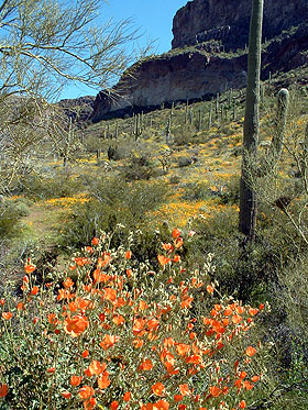 Spring blooms at Organ Pipe Cactus National Monument.