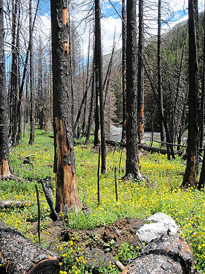 Regrowth two years after the Cascade Fire