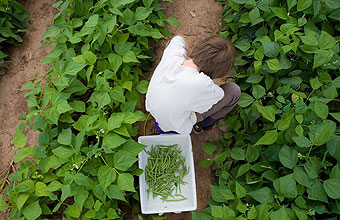 Boy harvesting green beans