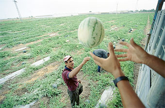 A Mexican farmworker picks melons for trucking to the U.S.