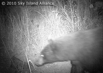 A black bear captured by a hidden camera.