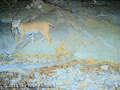 A bobcat carries his rabbit prey, as captured by a hidden camera.