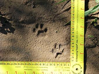 Bobcat tracks.