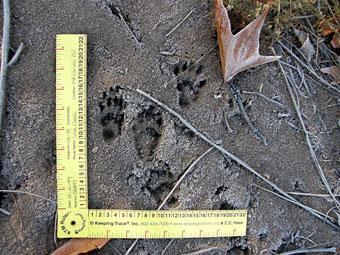 Coati mundi tracks.