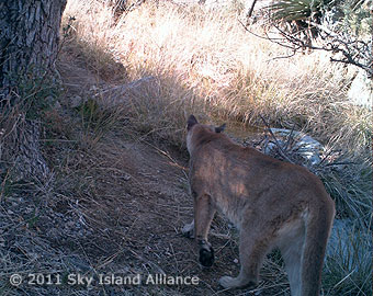 Mountain lion exploring near the hidden camera.