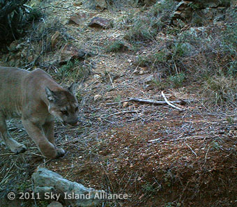 Mountain lion captured by a hidden camera.