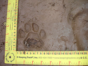 Mountain lion tracks.