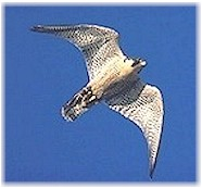 A Peregrine soars in flight.  Photo courtesy of The Peregrine Fund.