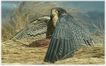A Peregrine shields its prey from other raptors.