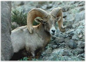 Rocky Mountain bighorn ram. Photo courtesy of Bighorn Institute.