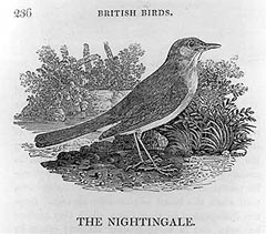 The Nightingale, British Birds, plate 236, courtesy of Dickinson College.