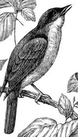 Nightingale, courtesy of Probert Encyclopaedia.