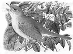 Nightingale, courtesy of 1999 Russian bird guide to the Balkans.