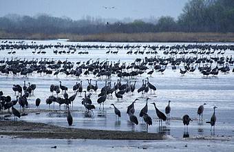 Cranes along the Platte River, March 2012.