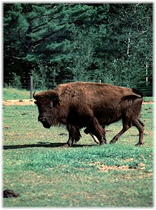 American buffalo, also known as bison