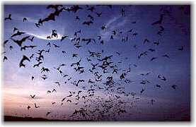 Bats emerging from a cave.