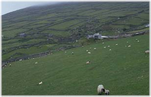 Fields and sheep in Ireland.