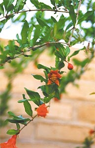 Pomegranate branches in bloom.