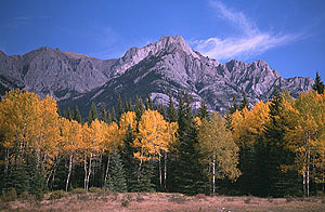 Golden aspens and spruce beneath Montana mountains.