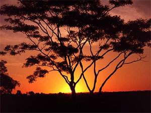 Tree on African savannah at sunset.