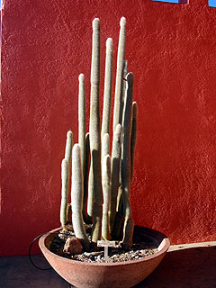 Columnar cactus against red wall.