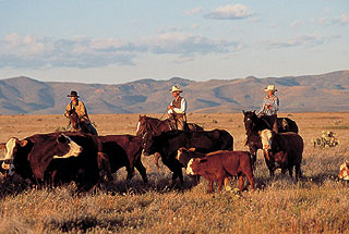 Cowboys with cattle on open range.