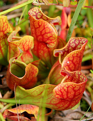 Carnivorous pitcher plants on Raspberry Island Bog, Isle Royale National Park.