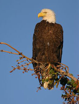 Bald eagle. Photo by John Hohl.