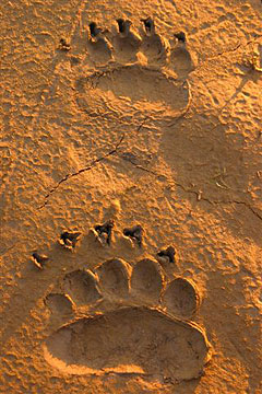 Bear paw prints. Photo by John Hohl.