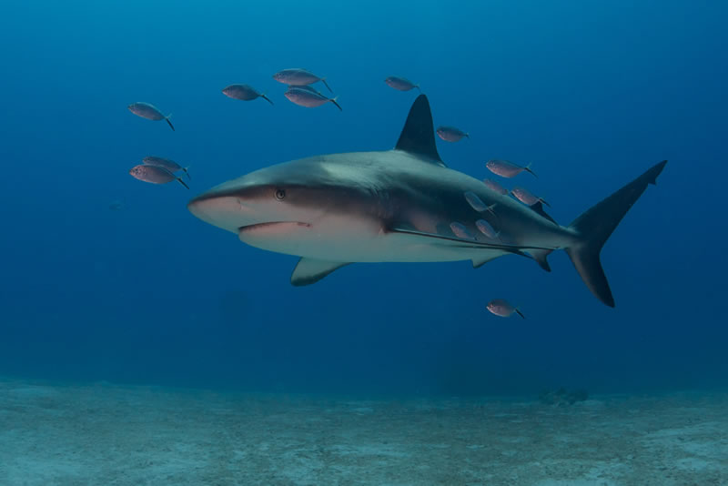 essays on sharks Sharks are at the heart of a healthy ocean and a booming ecotourism industry.