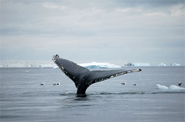 Whale tail in Antarctica. Photo by Lucy Jane Bledsoe.
