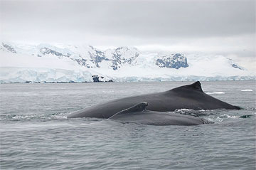 Breaching whale mother and child in Antarctica. Photo by Lucy Jane Bledsoe..