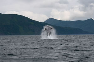 Whale leaping on Uyak Bay