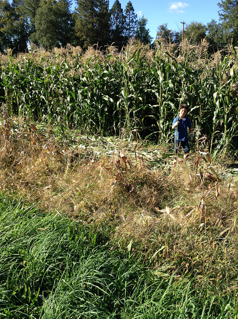Boy among Corn