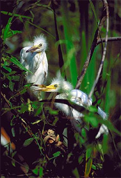 Young cattle egrets