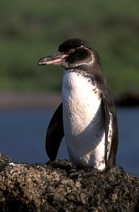 The Galapagos penguin, Spheniscus mendiculus. This species is listed as Endangered by the IUCN Red List. Photo by Haroldo Castro, courtesy Conservation International.