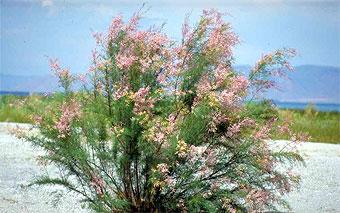 Salt cedar in spring