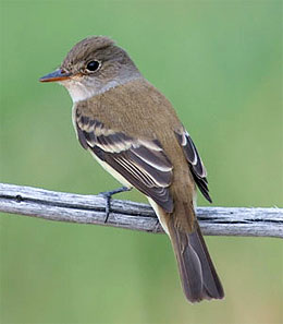 Southwestern will flycatcher