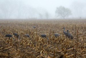 Sandhill cranes in the cornfields of southcentral Nebraska.
